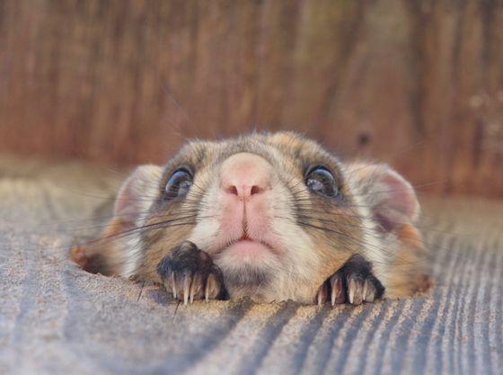 【ピッキオ】運がよければ野生のムササビに出会えることも